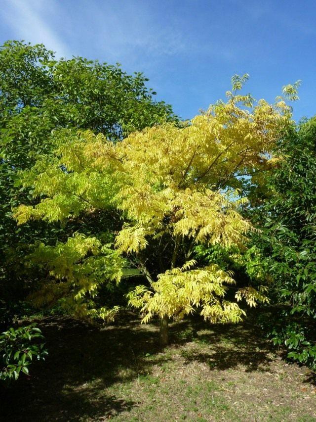 Бархат амурский, или Феллодендрон амурский, или Амурское пробковое дерево
