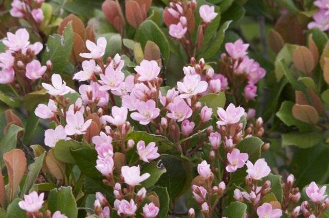 Рафиолепис зонтичный (Rhaphiolepis umbellata)