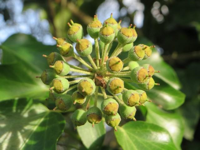 Соцветие и неспелые плоды плюща