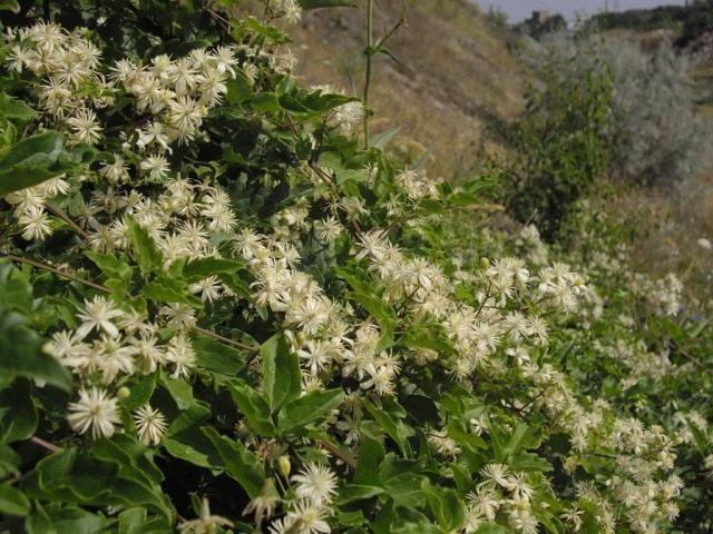Клематис (Ломонос) виноградолистный