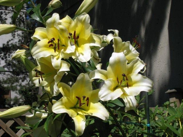 Лилия 'Conca d'Or'. Группа ориенпеты или ОТ-гибриды (Lilium 'Conca d'Or'. OT-hybrids)