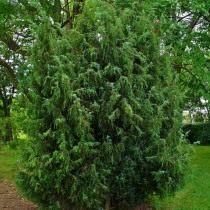 Можжевельник обыкновенный, или Верес (Juniperus communis)