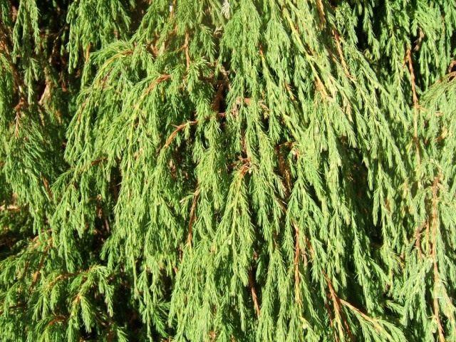 Можжевельник повислый, или Можжевельник отогнутый (Juniperus recurva)