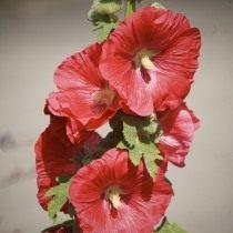 Размножают мальву посевом семян в открытый грунт или холодные парники в мае-июне