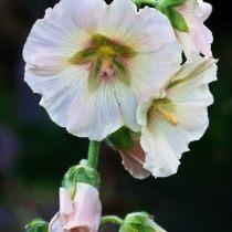 Мальва (Malva) хорошо растёт на солнце, но переносит и полутень, хотя теряет в яркости и высоте