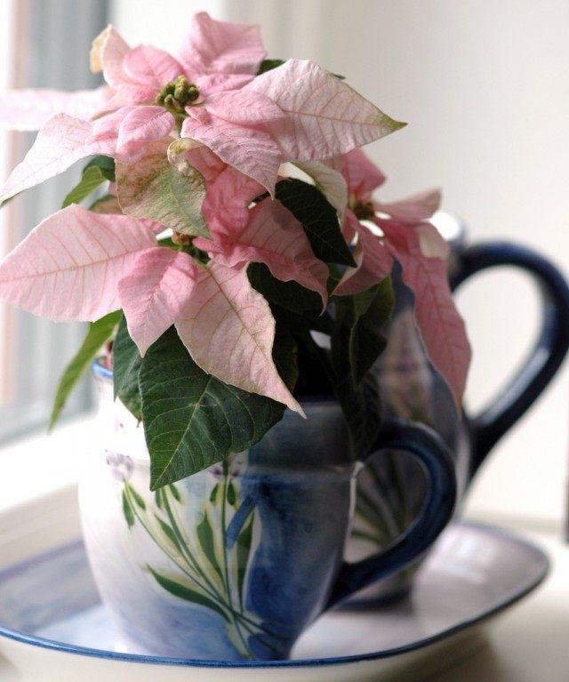 Из-за времени цветения попадающее на Рождество, а также из-за того, что прицветники образуют форму звезды, Пуансеттию называют «Вифлеемская звезда», или «Рождественская звезда»