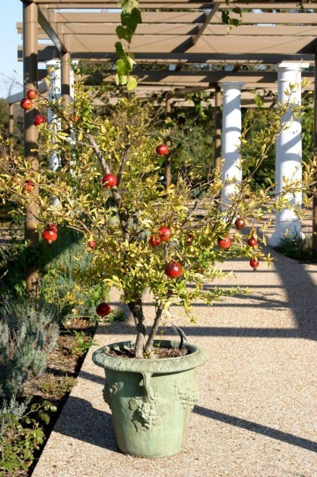 Гранат обыкновенный (Punica granatum)
