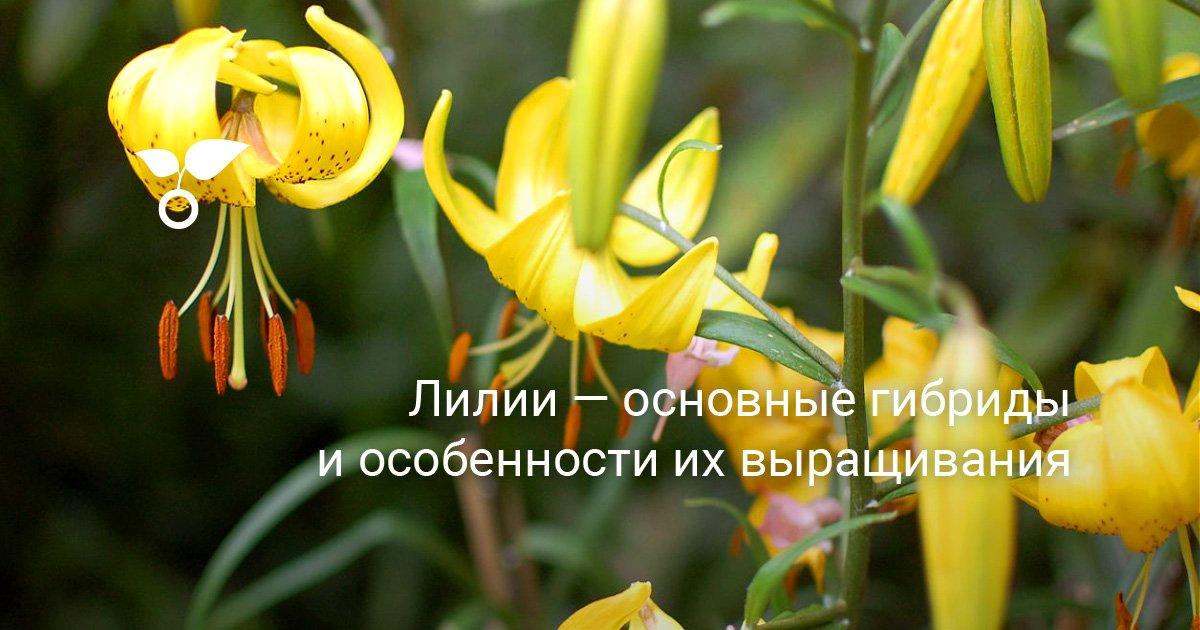 Лилии ОТ-гибриды, посадка и уход