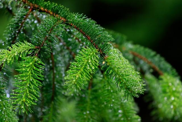 Ель обыкновенная, или Ель европейская (Picea abies)