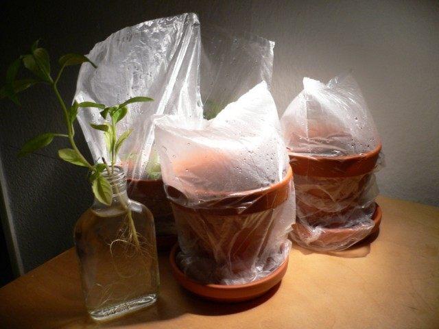 Укоренение черенков стевии