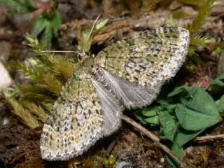Бабочка лопастной пяденицы зеленоватой (Acasis viretata)