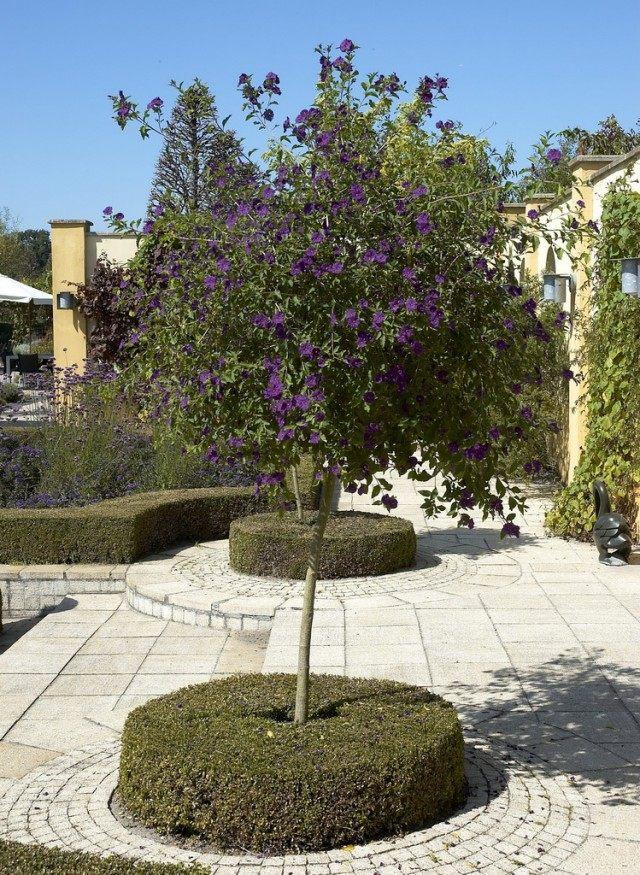 Картофельное дерево, или Паслён горечавковидный (Lycianthes rantonnetii)