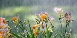 Цветы Фрезии под дождём