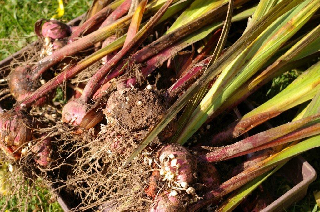 как подготовить гладиолусы к хранению после выкопки