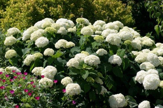 Гортензия древовидная «Анабель» (Hydrangea arborescens 'Annabelle')