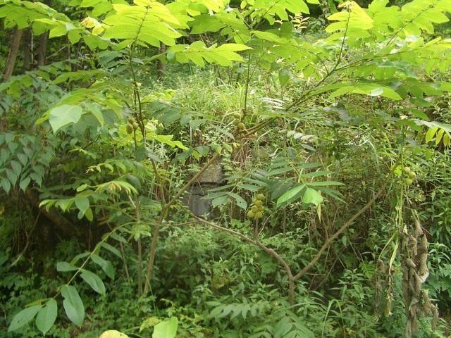 Молодое дерево маньчжурского ореха с плодами