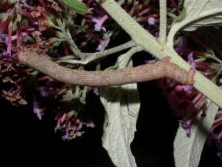 Гусеница пяденицы-шелкопряда бурополосой, или пяденицы-шелкопряда волосистой (Lycia hirtaria)
