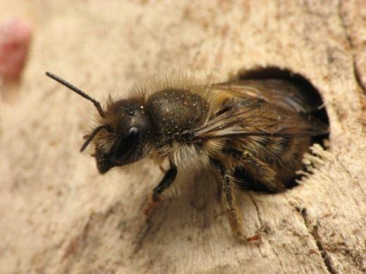 Пчела — союзник дачника