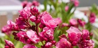 Махровые цветы Олеандра