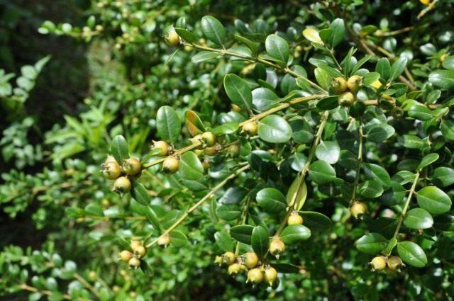 Самшит колхидский, ветви с листьями и плодами