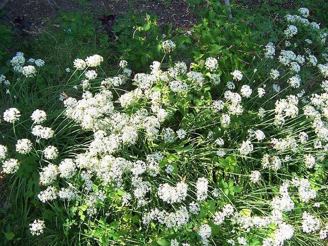 Лук ветвистый, Джусай или Лук душистый (Allium ramosum)