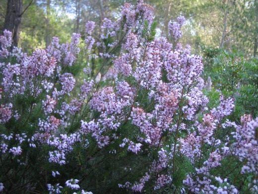 Вереск обыкновенный (Calluna vulgaris)