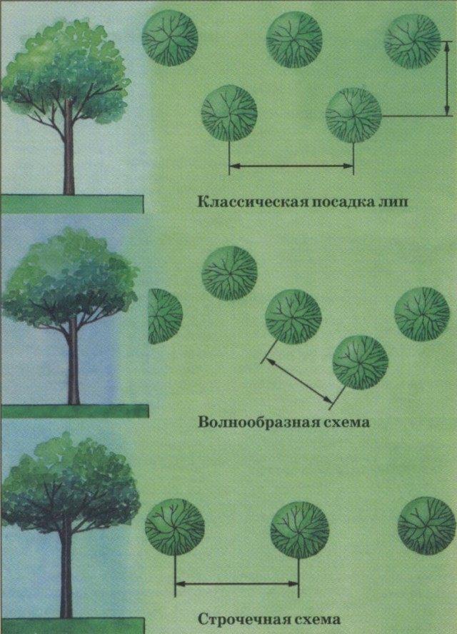 Схемы посадки лип для живой изгороди