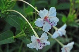 Мирабилис длинноцветковый (Mirabilis longiflora)