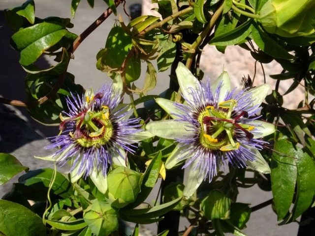Страстоцвет голубой или Кавалерская звезда или Пассифлора голубая