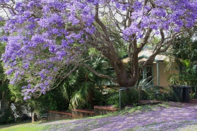 Взрослое дерево Жакаранда