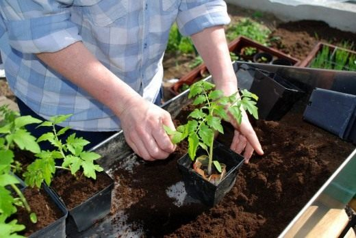 Перевалка рассады томата