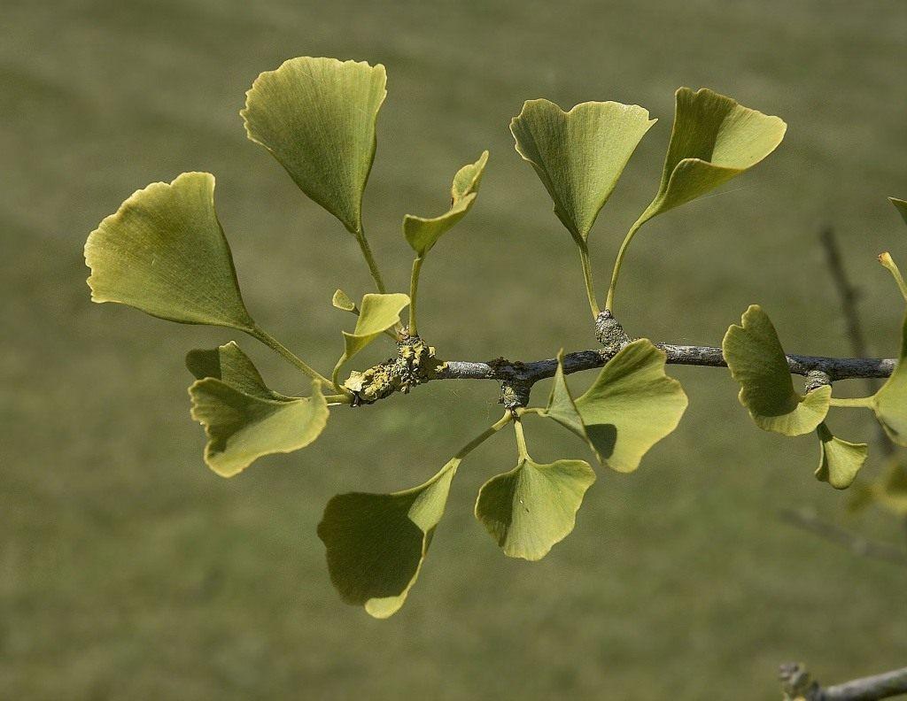 Гинкго цветок