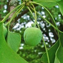 Незрелый плод гинкго двулопастного