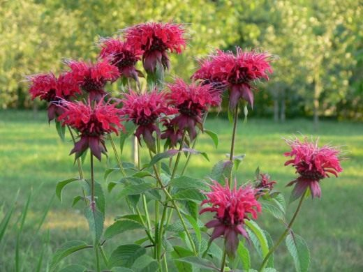 цветок бергамот фото