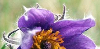 Прострел (Pasque flower)