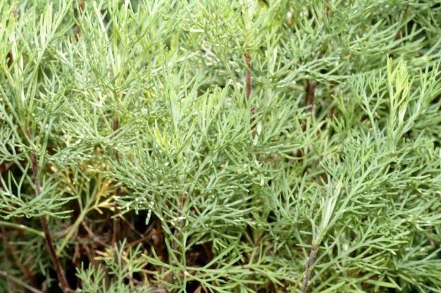 Полынь лечебная, или Полынь высокая, или Полынь лимонная (лат. Artemisia abrotanum)