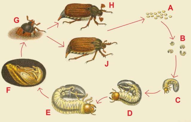 Жизненный цикл майского жука. A: Яйца, B: Личинки до окукливания, C: Детеныш личинки, D: Молодая личинка, E: Взрослая личинка, F: Куколка жука, G: Взрослый жук, возникающий после вылупления, H: Взрослый самец жука, J: Взрослая самка жука.