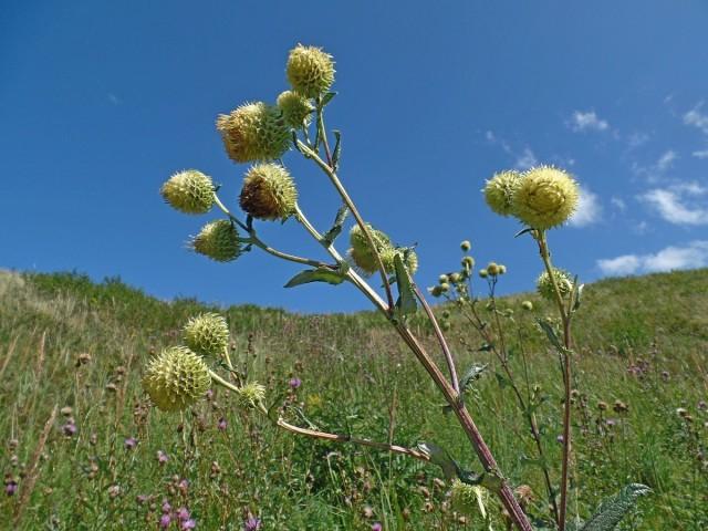 Альфредия поникшая, атаман-трава (Alfredia cernua)