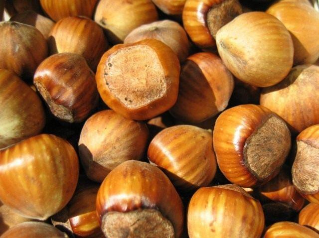 Фундук, плоды лещины крупной