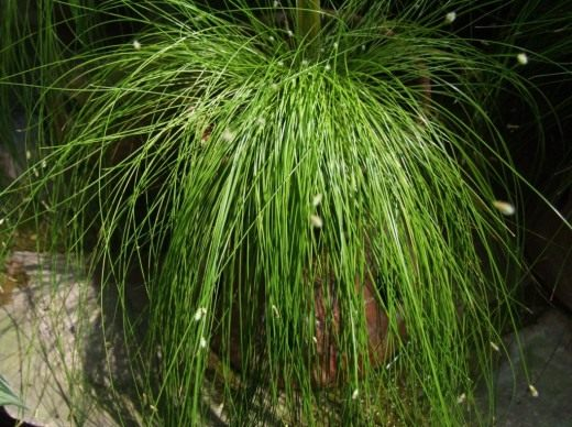 Камыш поникающий (Isolepis cernua)
