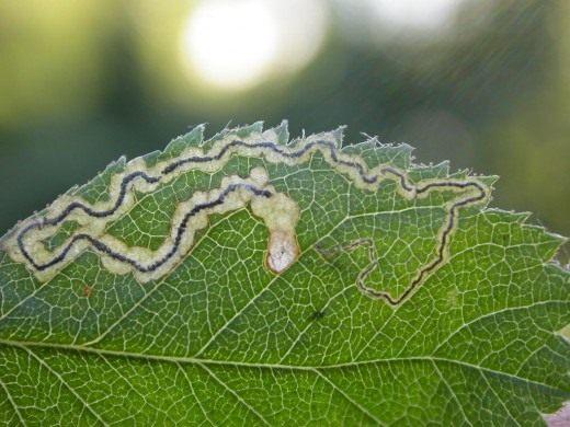 Змеевидная мина гусеницы