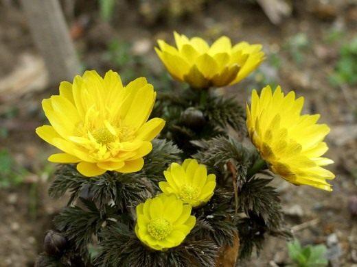 Адонис амурский, или горицвет амурский (Adonis amurensis)