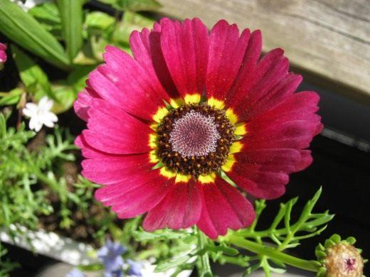 Хризантема килеватая, или трехцветная (Chrysanthemum carinatum)