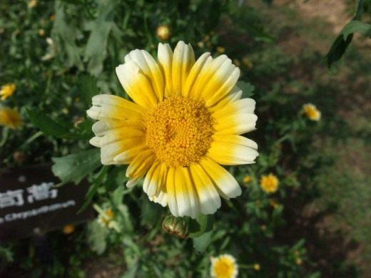 Златоцвет посевной, или Хризантема посевная, (Glebionis segetum)