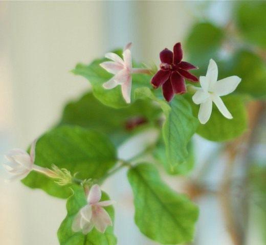 Жасмин самбак (Jasminum sambac)