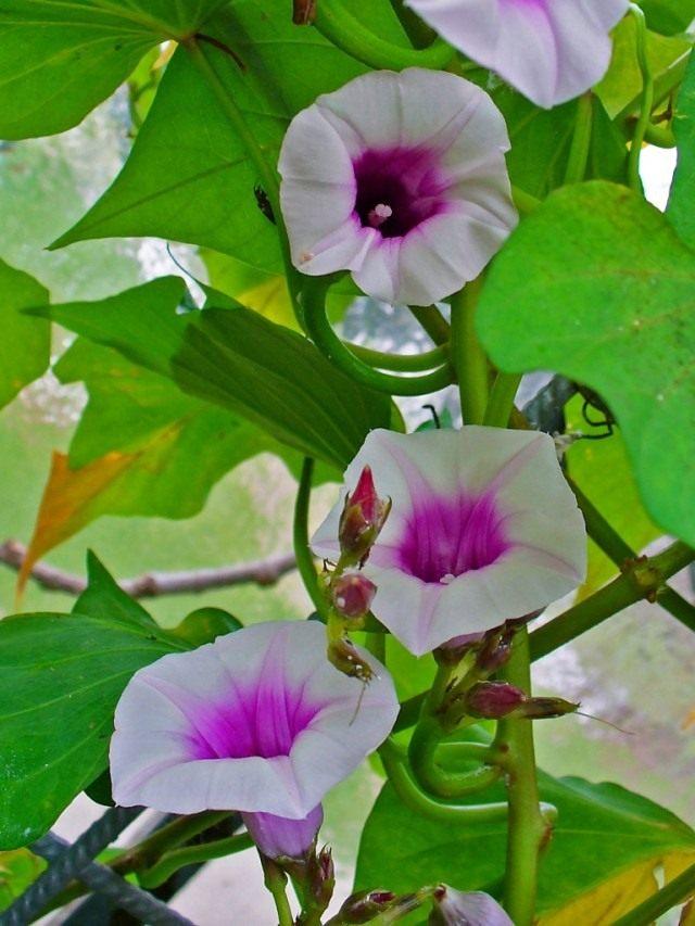 Цветы Батата, или сладкого картофеля