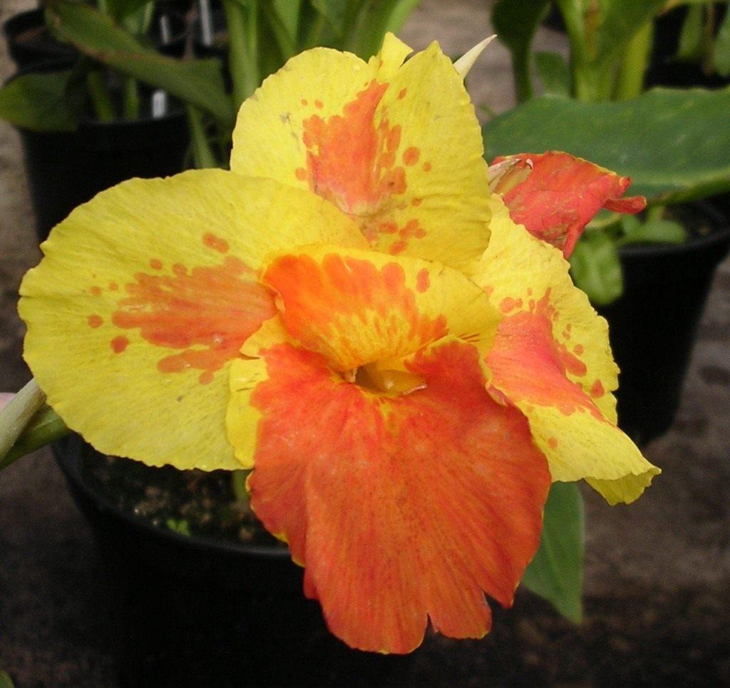 Канны цветы: посадка и уход в открытом грунте, выращивание в саду ... | 965x1024