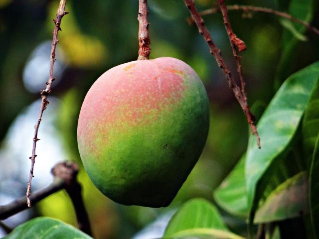 Манго — сочный плод