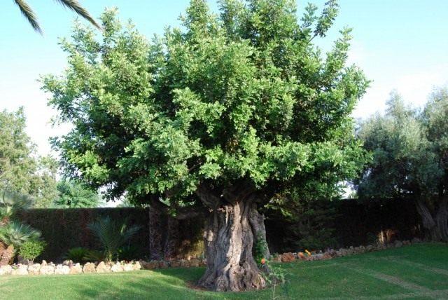 Рожковое дерево, или Цератония стручковая, или Цареградские стручки (Ceratonia siliqua)