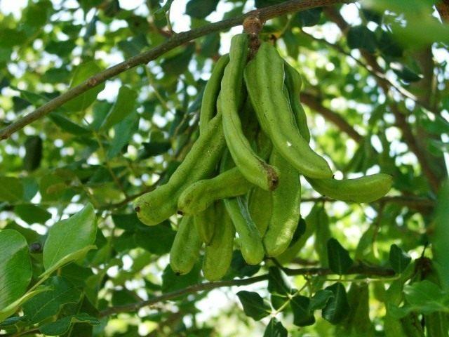 Зелёные плоды рожкового дерева